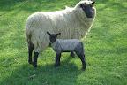 Ewe & lamb (andritter) - Compress.JPG