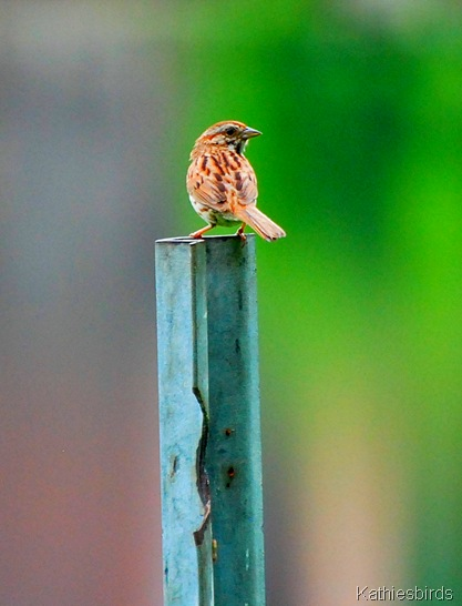 11. song sparrow-kab