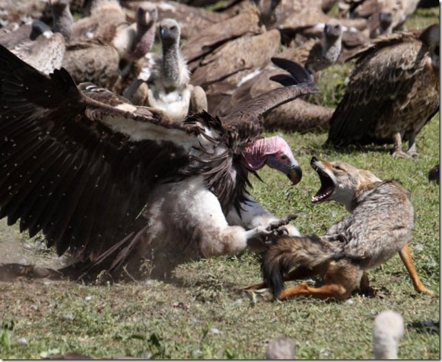 wolf-fighting-vulture