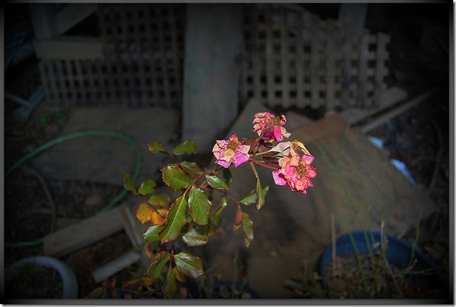 rosedormant