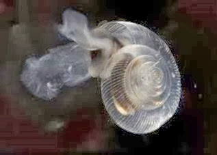 Amazing Pictures of Animals, Photo, Nature, Incredibel, Funny, Zoo, Limacina helicina, Mollusca, Alex (7)