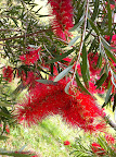 Dec 8 - Bottlebrush