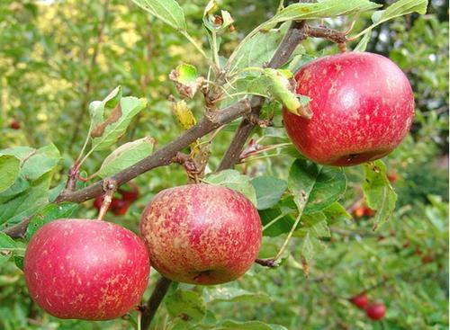 Bakteri Apel