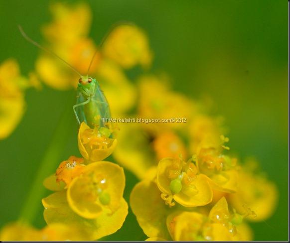 hyönteisiä, ötököitä, parittelua 133