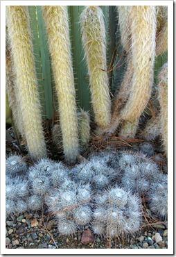 120414_RBG_Oreocereus-celsianus- -Mammillaria-geminispina_01