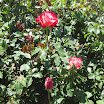 Rose Garden at the Mission 056.JPG