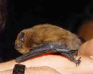 Amazing Pictures of Animals, Photo, Nature, Incredibel, Funny, Zoo, Common pipistrelle, Mammals, Alex (2)