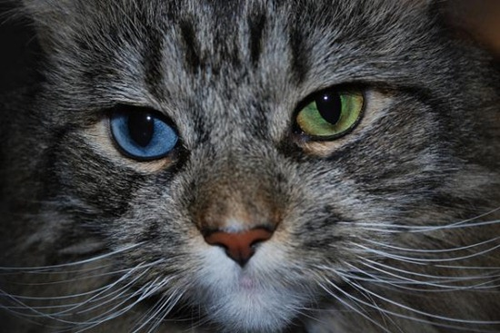 In a condition called complete heterochromia, the whole iris of one eye is a different color from the iris of the other eye.