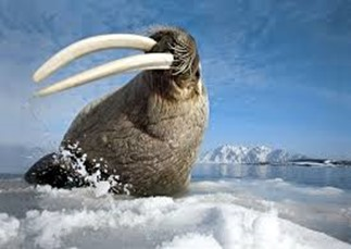 Amazing Pictures of Animals, photo, Nature, exotic, funny, incredibel, Zoo, Walrus,Odobenus rosmarus, Alex (13)
