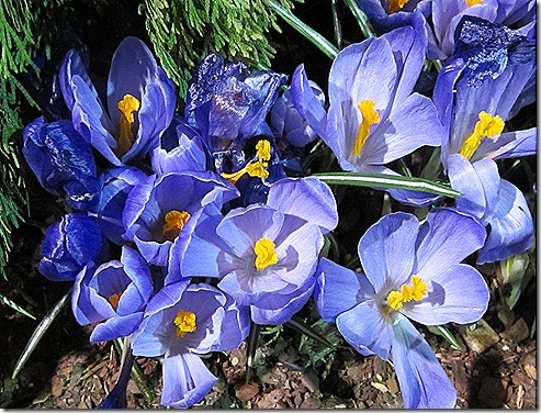 Crocus_Beauty