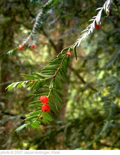 'Pacific Yew' photo (c) 2007, Jason Hollinger - license: http://creativecommons.org/licenses/by/2.0/