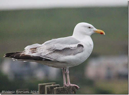 14-Herring-gull