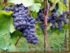 Технология выращивания винограда в северных регионах 11