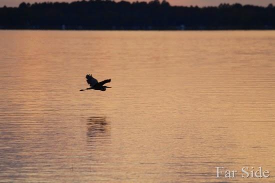 Great Blue heron on Fish Hook Lake (2)