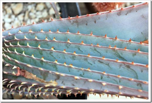 130202_UCDavis_Aloe-suprafoliata_05