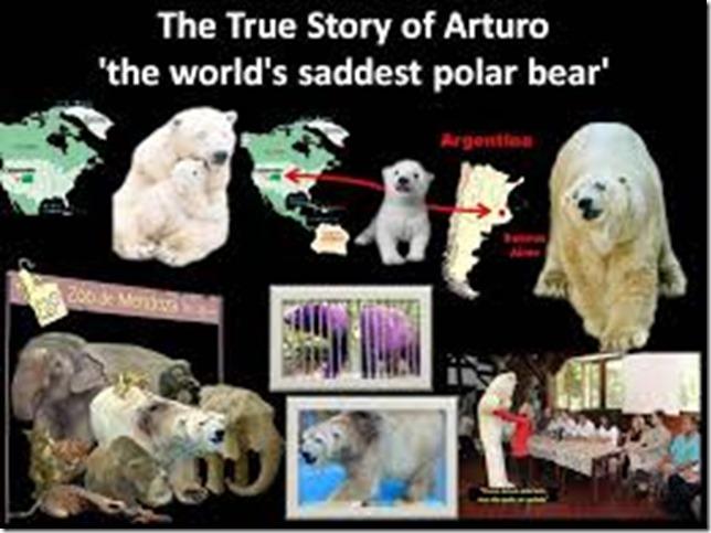 arturo_world saddest polar bear
