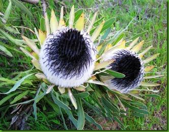 Protea longifolia1