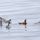 Norther and red phalaropes
