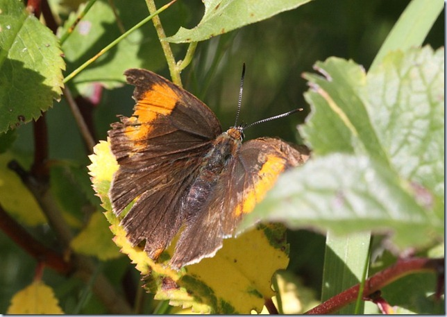 brown_hairstreak1