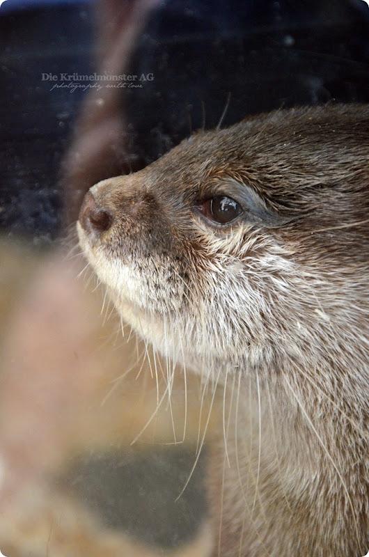 Wremen 29.07.14 Zoo am Meer Bremerhaven 31 Zwergotter