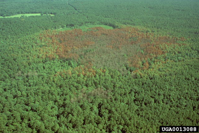Large, expanding southern pine beetle infestation, 1993, in the Upland Island Wilderness Area, Angelina National Forest, Texas, United States. Ronald F. Billings / Texas Forest Service