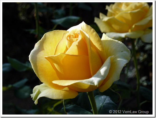 YellowRoseP1030949