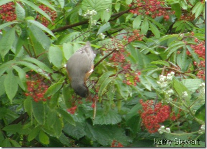 Robin eating Elderberries