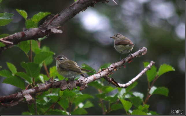 Possibly Tennasee Warblers?