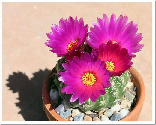 120516_Notocactus-uebelmannianus_11