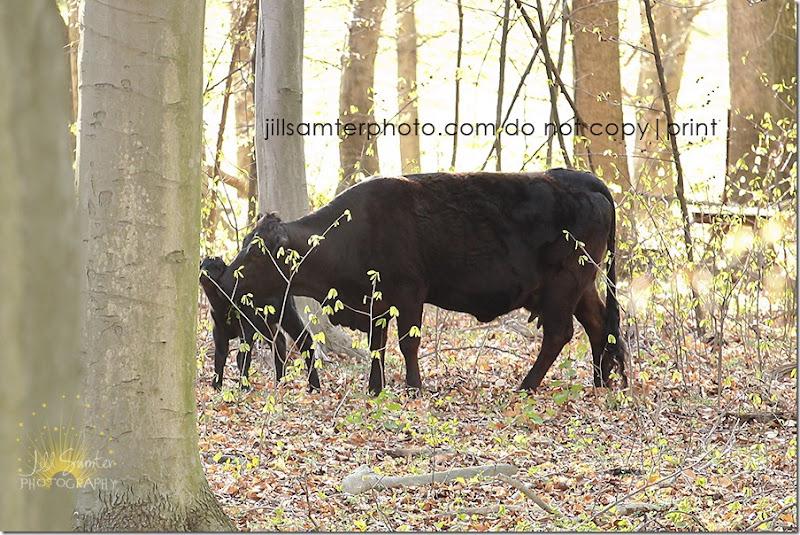 cows-6675
