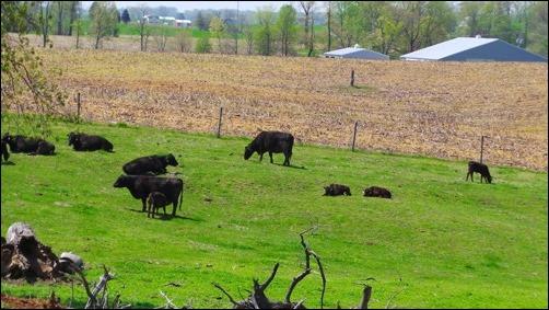 cows at pasture landscape mode