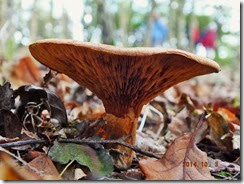 Paxillus involutus Brown rim-roll