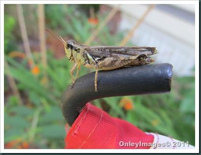 grasshopper-flag0711 (2)