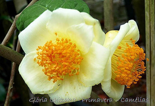 Camélia amarela - Glória Ishizaka - Quinta Vilar de Matos