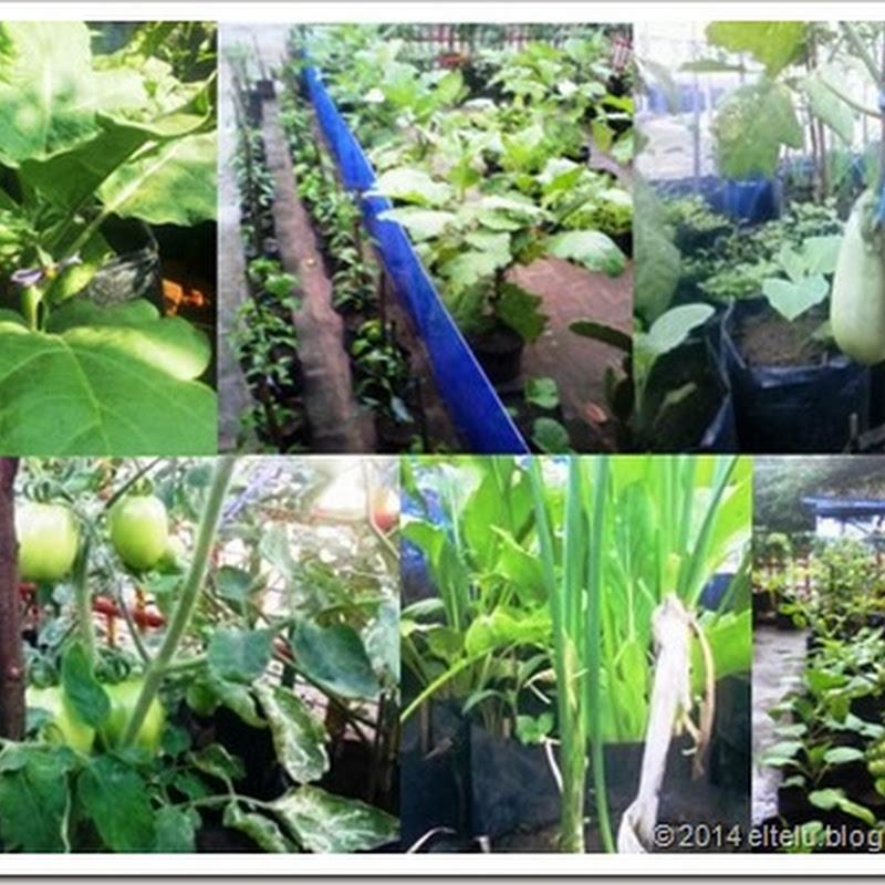 Teknik Budidaya Tanaman Sayuran Dalam Pelajaran Prakarya Kelas VII - Kurikulum 2013