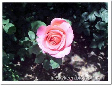 MCC Rose Garden 10
