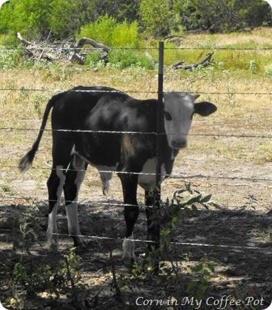 Bull calf sept 2014