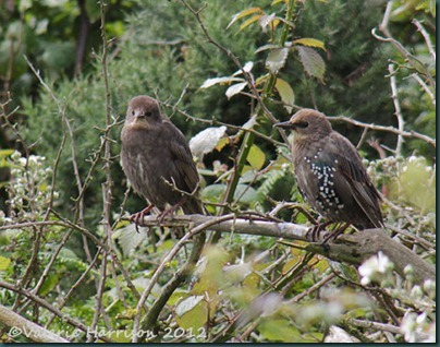 4-Young-Starlings