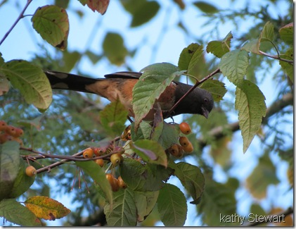 Towhee at the Pacific Choke Cherries