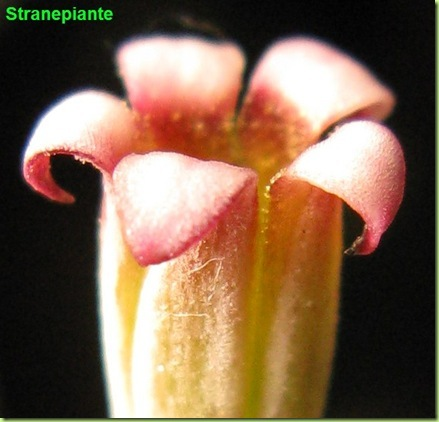 Adromischus marianae little spheroides fiore