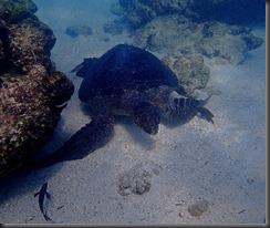 Underwater turtle 2