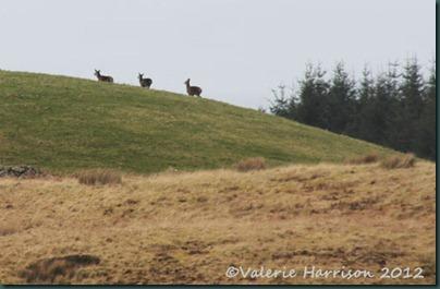 18-roe-deer