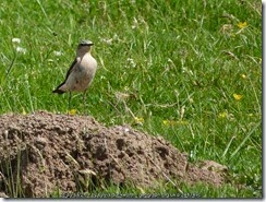 A Wheatear, keeping an eye on things from a convenient molehill
