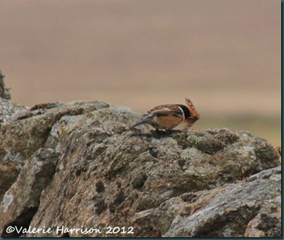 44-stonechat-and-emperor