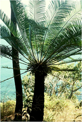 Cycas