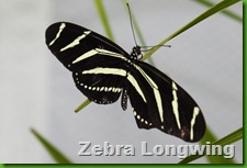 Zebra longwing blog
