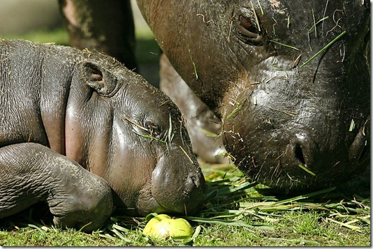 GERMANY-ANIMALS-PYGMY HIPPOPOTAMUS-OFFBEAT