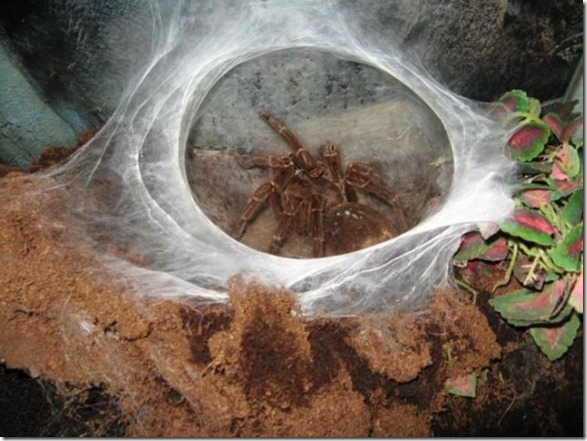 giant-largest-spider-8