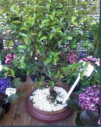 bonsai_pitanga