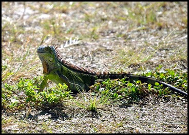 17c - iguana - little green one